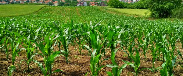 corn-plant-on-field-1112080